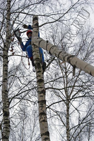 фото. удаление деревьев с завешиванием по частям