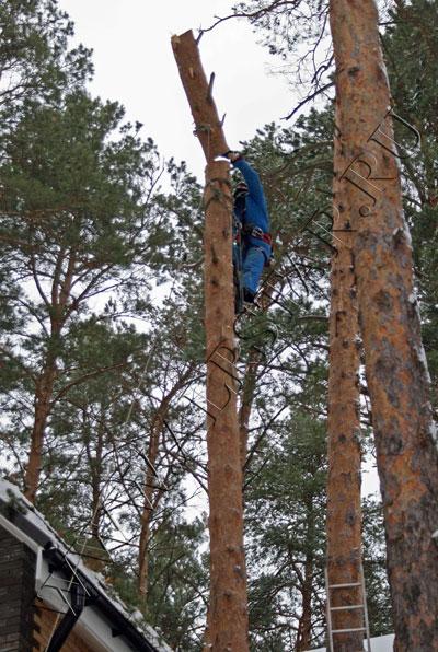 Фото. Промышленный альпинист пилит дерево по частям с завешиванием